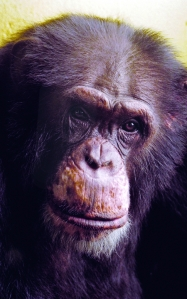 http://www.lpzoo.org/sites/default/files/images/multimedia/keoregensteincenterforafricanapestouched450.jpg